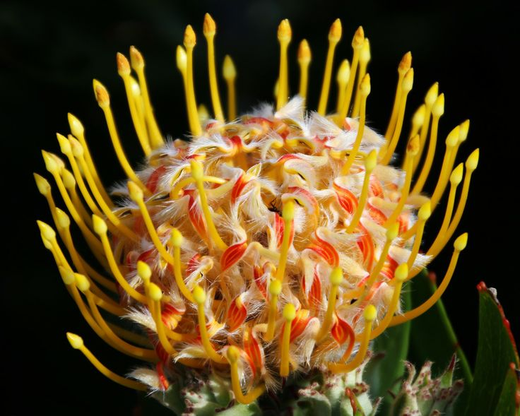 Macro photo of Australian flowers Nature and macro photos - by missflooflaa.tumblr.com photography