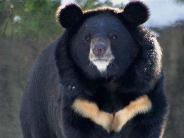 Asiatic Black Bear | status the asiatic black bear is listed as vulnerable by