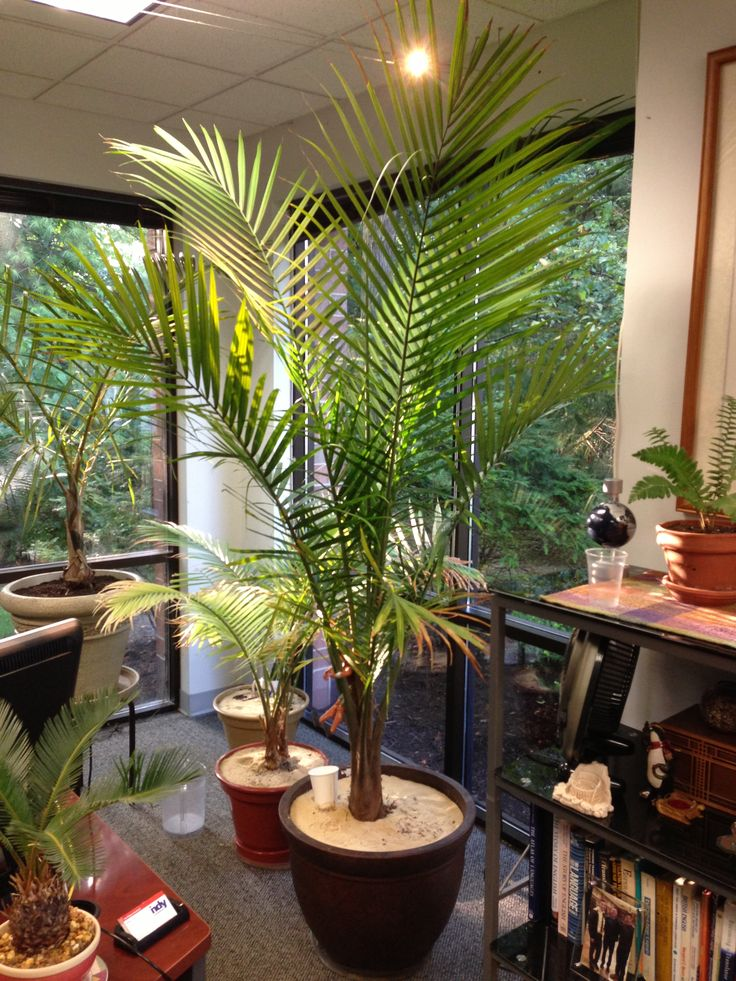 My Majesty Palm (Ravenea rivularis) in my office. It's almost reached the ceiling. Majesty palms are a bit more challenging to grow indoors. They like lots of water, light and humidity. I strive to give all three to this palm. It is my office with full-length windows on the south and east, and gets morning and afternoon light from both directions. I also obsessively mist it throughout the day. Behind it are two other smaller majesties I rescued from Lowe's last fall for three dollars each.