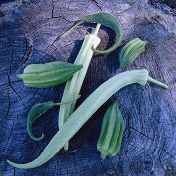 Heirloom Okra Plant Varieties - Organic Gardening - MOTHER EARTH NEWS