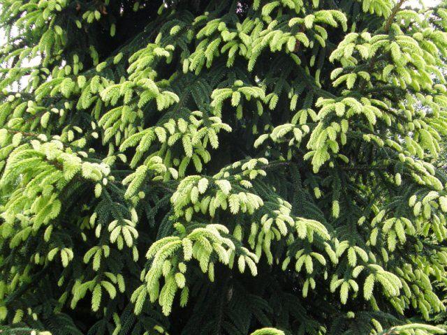 Ель обыкновенная Aurea - Зеленый сад