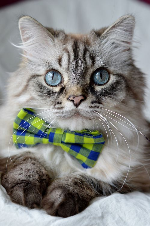 photogenicfelines:....love the bow tie....my cat who passed away loved to wear one.  Lookes so cute in it too.  (carbonxxkidd)