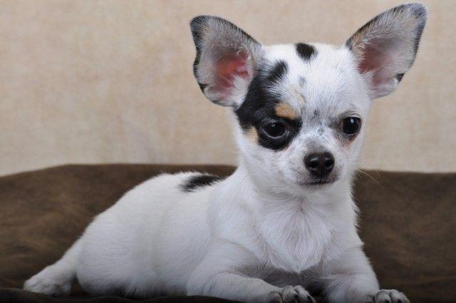 Au Coup de Patte - Chihuahua poils courts blanc tacheté male