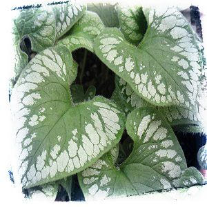 """Brunnera 'Emerald Mist'.   Blue forget-me -not type flowers in the spring and prefers shade with rich moist soil.  Hardy to zone 3. Part to full shade.  Height & Spread 15""""."""