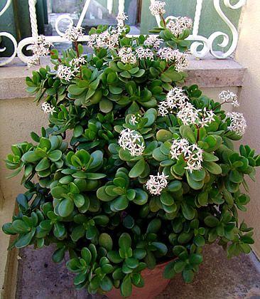 Crassula ovata, Planta-de-jade, Árvore-da-amizade, Bálsamo-de-jardim
