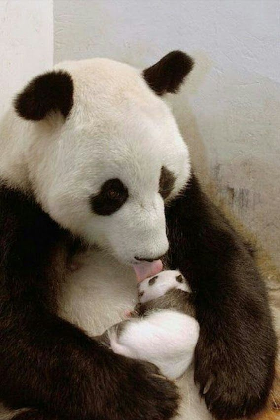 Newborn panda and mom - photo#55