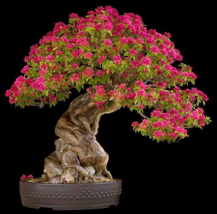 Цветок банзай картинки