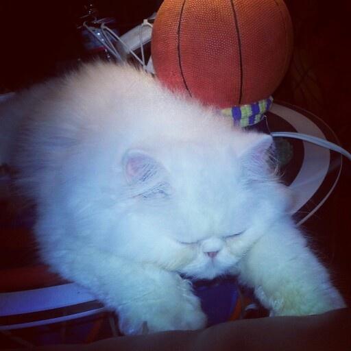 My new #persian kitten, Cinco <3