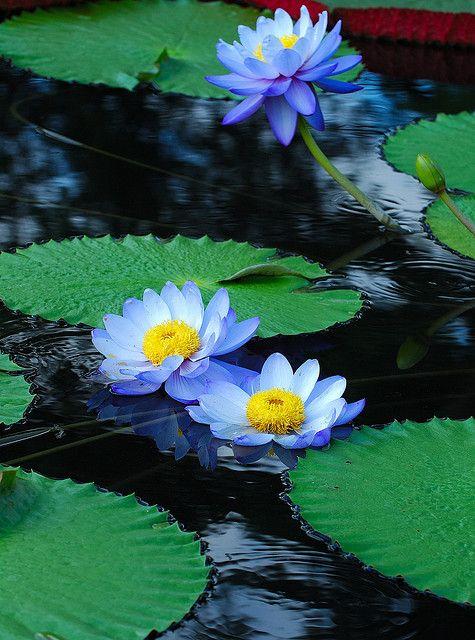 """Blue Water Lilies"", Longwood Gardens ~ by radishhai, via Flickr."