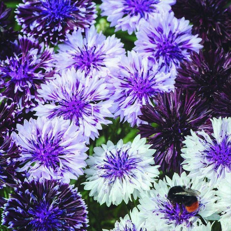 Är det inte vackert med blåklint?Det här är Classic Magic som har enkla och halvdubbla blommor i attraktiva lila till nästan svarta nyanser samt lila och vita tvåfärgade blommor. Idealisk som snittblomma. Tips! Klipp löpande av överblommade blommor för att uppmuntra fortsatt riklig blomning.  Fröer till Blåklint Classic Magic hittar du i vår webbshop.  #blåklint #blommor #flowers #wexthuset #minträdgård #mygarden #frö #flowerstagram #odlasjälv