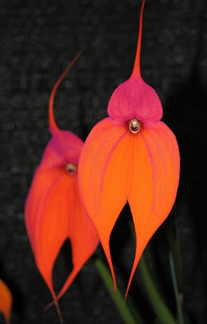 Deep red orchid by darinmarshall, via Flickr