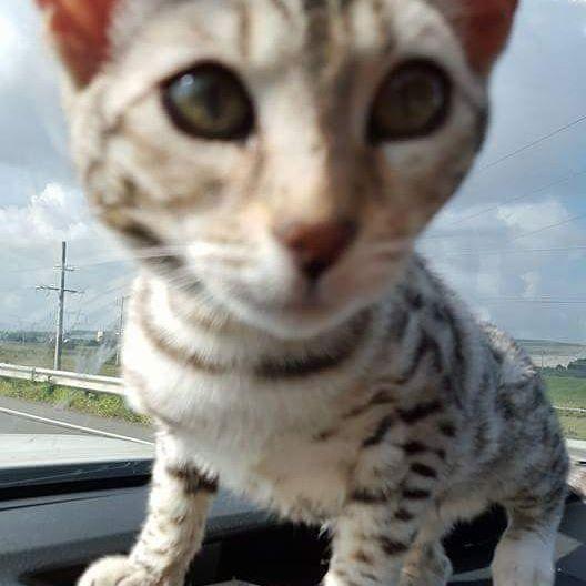 Hello everybody#cats #catstagram  #catsofig #catoftheday  #catsdaily #cat_features  #catsrule  #catwalk # bengal #petst  #bengalsnation #bengalcat  #cat #catofinstagram #cat #bengalcat #bengalcatsofinstagram #bengal  #catlover #catlovers #catlady #catslovers #whiskas #friskies  #iams #royalcanin #meow #feline