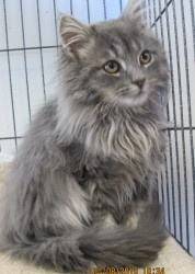 Adopt A Maine Coon Cat In Pa