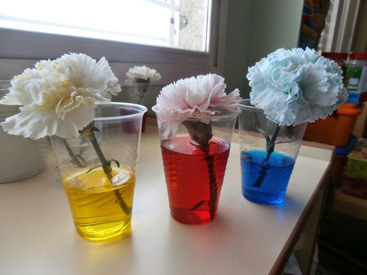"""La profesora lleva claveles a clase y pone cada uno de ellos en una vaso. Después se echan colorantes alimentarios de distintos colores en cada uno de los vasos y... ¡a esperar! Las flores """"beben"""" de su agua y se ponen de ese color. Experimiento para mostrar a los niños que las plantas necesitan agua para vivir y también enseñarles cómo la van absorbiendo."""