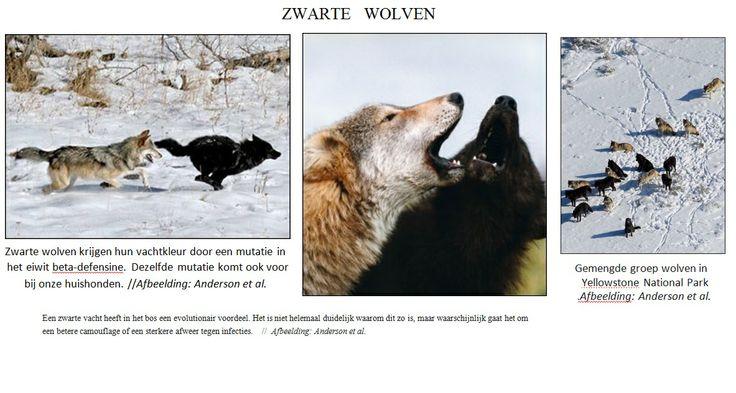 zwarte wolven Yellow stone Parc
