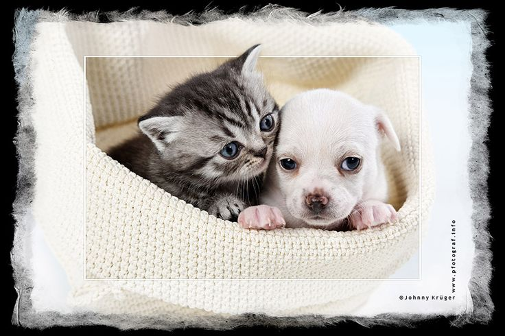 a Chihuahua Puppy Dog with a British Shorthair black/silver tabby kitten- copyright by www.pfotograf.info