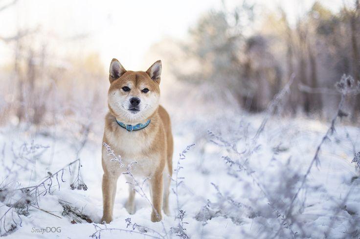 Beni - shiba inu - Beni, stunning boy from Japan.   More dog photos: https://www.facebook.com/SnapDogPL