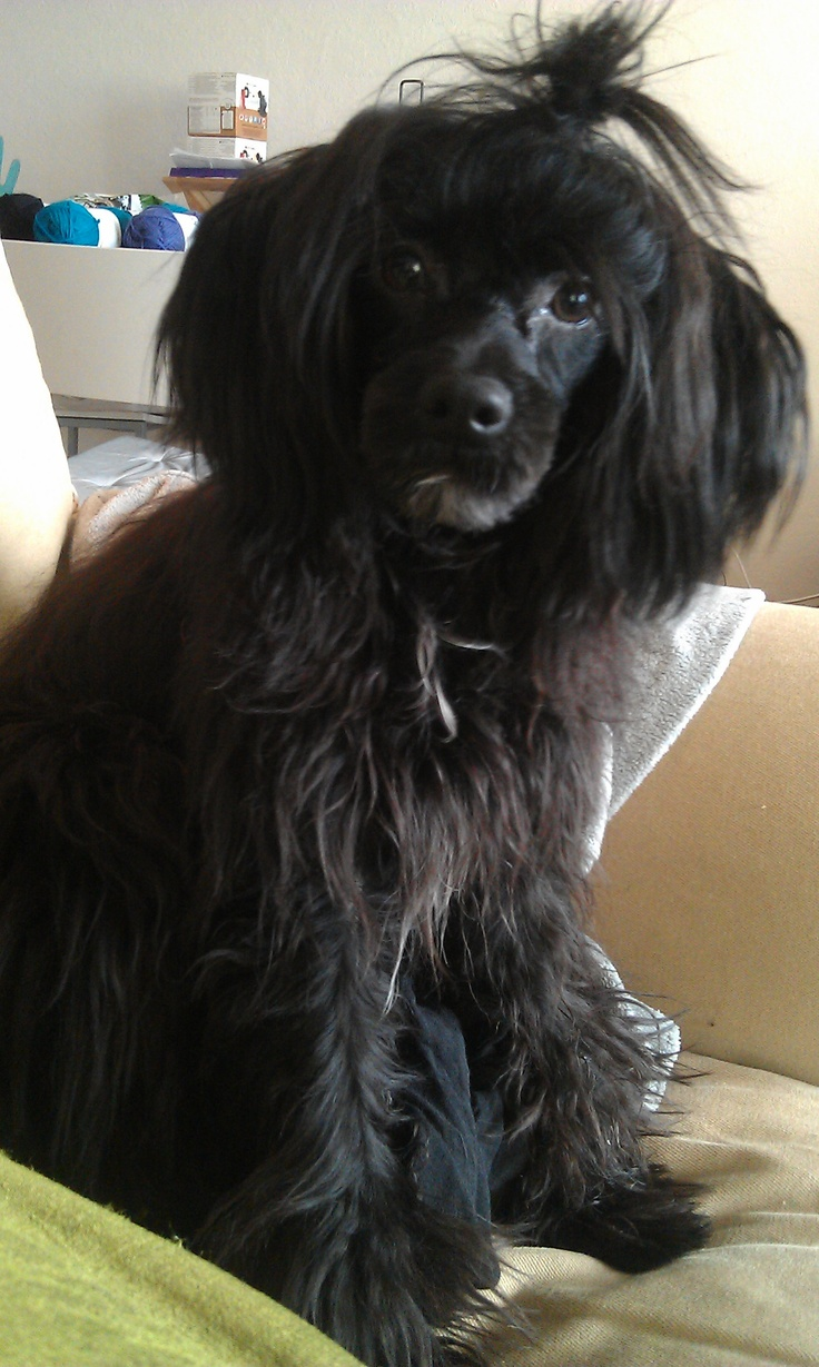 Adopt Charlie on Poodle mix dogs, Terrier poodle mix