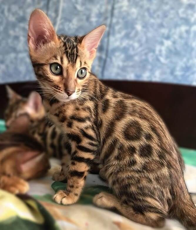 Pin by R2 on ❤️ Cats - Bengal, Savannah, Asthera and