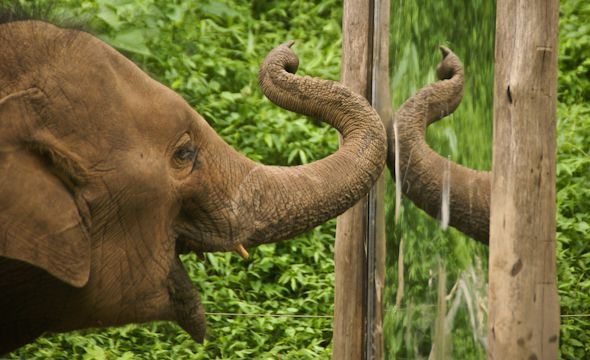 10 FACTS ABOUT ELEPHANT APPRECIATION DAY - THERE ARE ONLY A COUPLE OF ANIMALS CAPABLE OF SELF-AWARENESS, AND ELEPHANTS BELONG IN THESE ELITE GROUP. ALONG WITH HUMANS, DOLPHINS, AND APES, ELEPHANTS ARE ABLE TO RECOGNIZE THEMSELVES IN MIRRORS!
