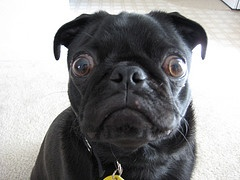 I can't believe it!Pugs Puppies, Laugh, Bugs Eye, Black Pugs, Pets, Pugs Dogs, Humor, Funny Animal, Pugs Life
