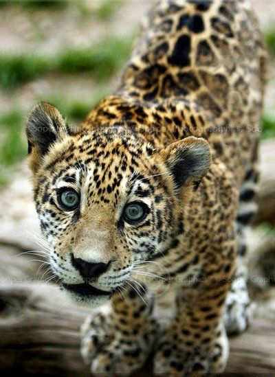 "Baby Jaguar says, ""Can I eat your face off?""... Just saying... he"