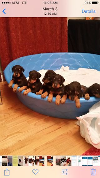 Litter of 5 Doberman Pinscher puppies for sale in RALEIGH, NC. ADN-26680 on PuppyFinder.com Gender: Male(s) and Female(s). Age: 8 Weeks Old
