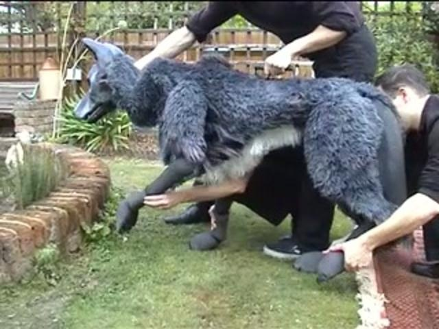 Pacino the Wolf - 3 puppeteers bring a large wolf to life!
