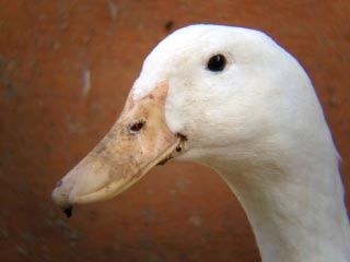 good tips on what not to do when raising ducks. They can be challenging!