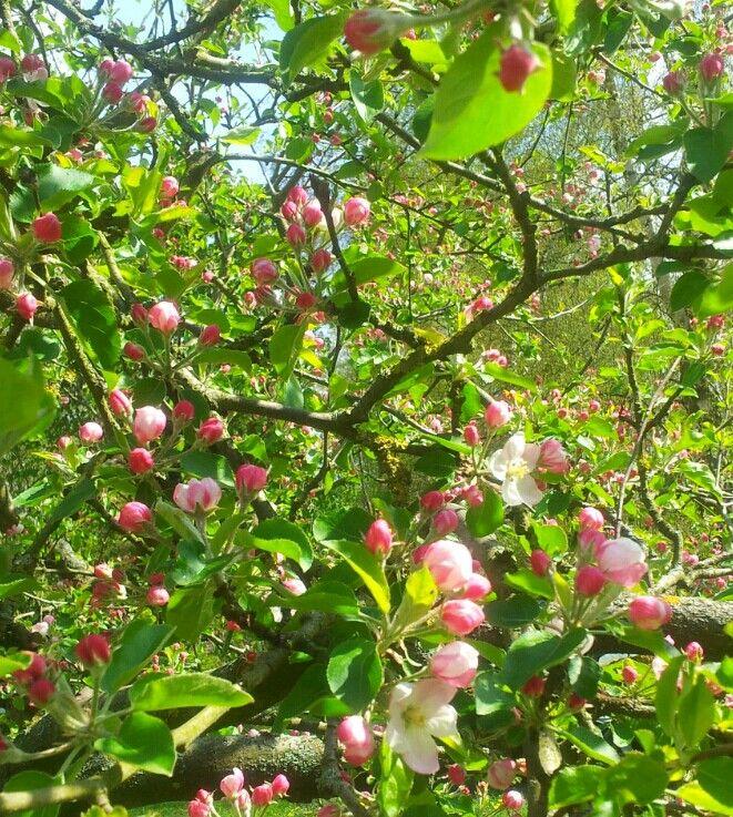 Apfelblütentraum