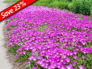 Delosperma cooperi is an easy to grow groundcover that deer won't touch