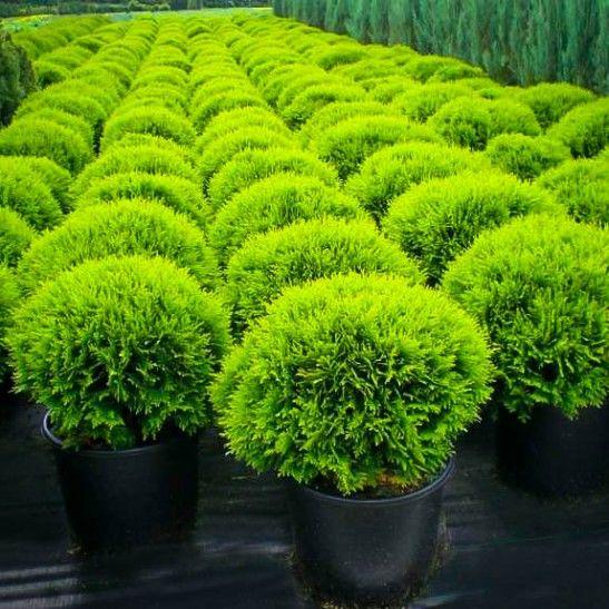 Danica Globe Thuja Arborvitae | The Tree Center™