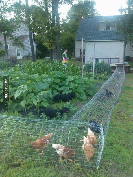 Good way to protect the garden, have fresh eggs, and keep chicken poo out of all your stuff