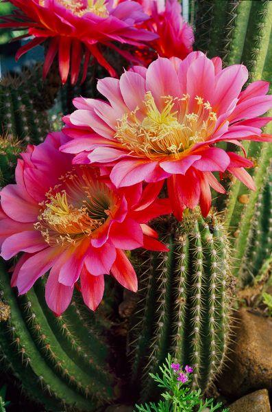 Cactus flower                                                       …