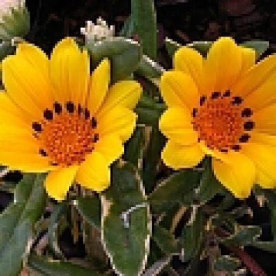 Gazania, Terracotta Gazania, Botterblom - Gazania krebsiana - Gardening in South Africa