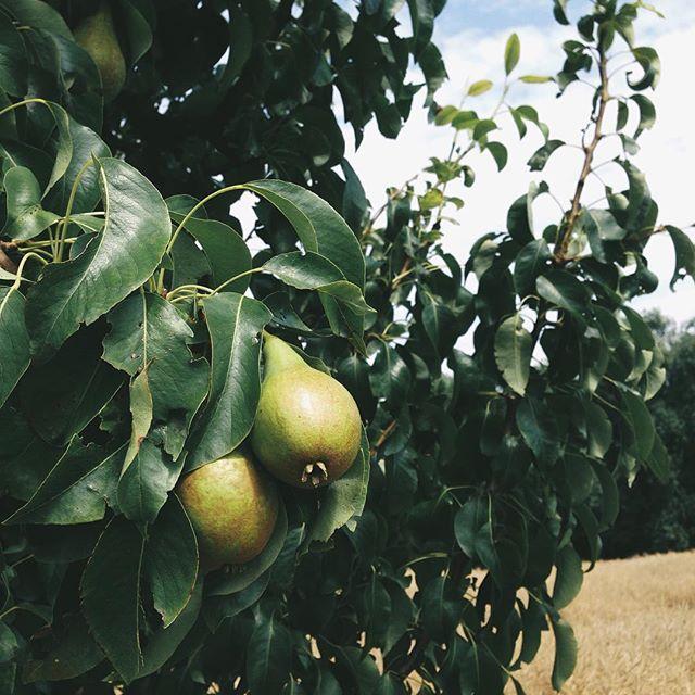 """""""mehrere bäume voll mit birnen (möchte jetzt einen eigenen birnenbaum"""" bild / @pearodie 🍐). wir wollten eigentlich kirschen pflücken, die bäume waren aber schon abgeerntet. und die birnen noch nicht bereit. #trauerspiel #pear #fruit #today #green"""