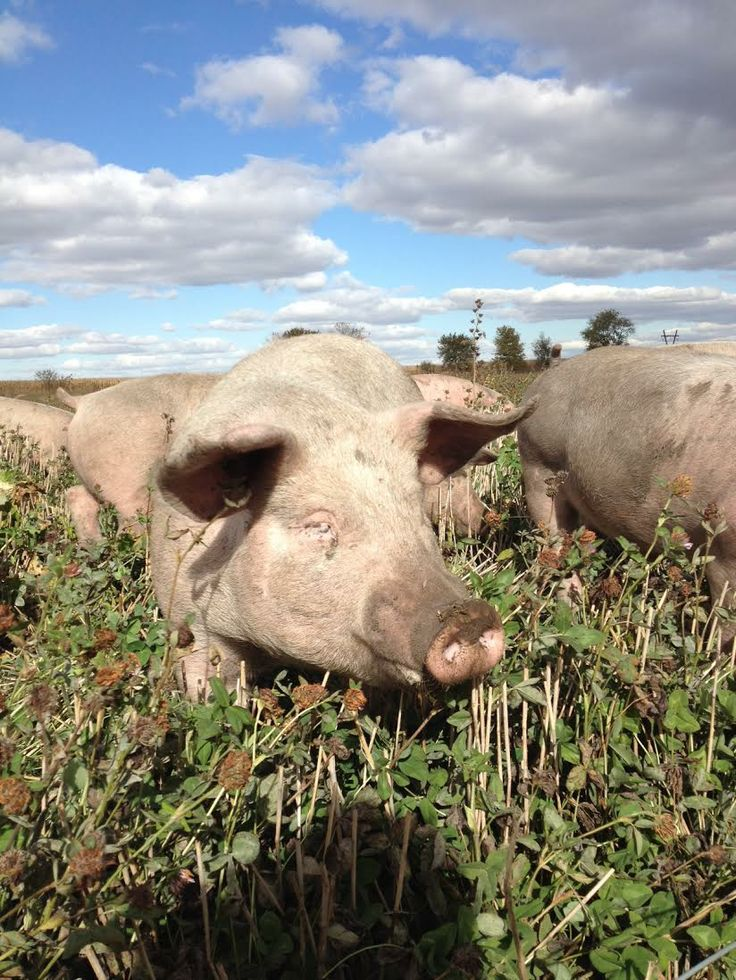 Pigs adventuring out on their newest area in the summer! non-GMO pasture raised pigs. Pasture eggs en pork. #nongmo #peepinc #pastureraised