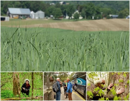 Energy crops planted for use at the Oak Ridge National Laboratory (ORNL). The Energy Department hosted a five-day Bioenergy Study Tour of the southeastern United States to highlight innovations that are bringing the region one step closer to a sustainable bioenergy industry.| Photos courtesy of DOE