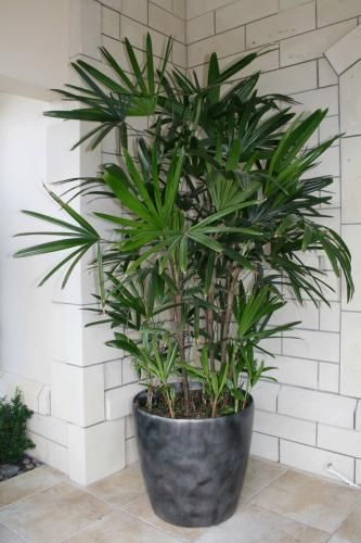 Rhapis Excelsa/Lady Palm: Possible the perfect indoor palm, tolerating low light levels and growing slowly to an impressive size over a number of years. Multiple slim trunk covered in dark woven fibres, which form a clump. Fan shaped, dark glossy green leaves with jagged ends.