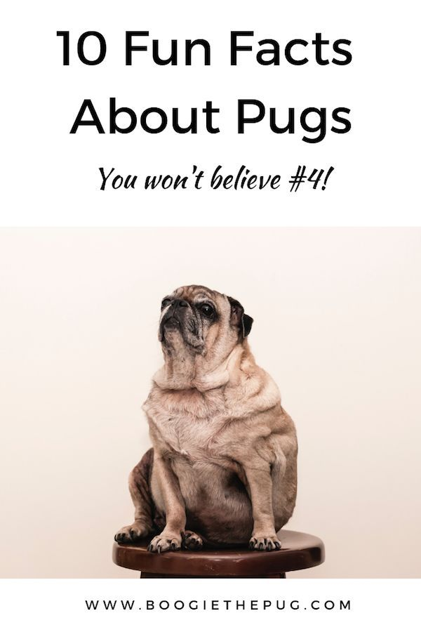 10 Fun Facts About Pugs Pug Facts Dog Facts Pugs