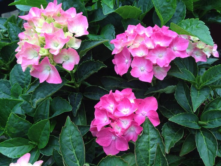 Hydrangea macrophylla Pia Mina to rear courtyard boarder garden bed
