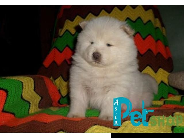 Chow Chow Puppy Price In Mysore Chow Chow Puppy For Sale In