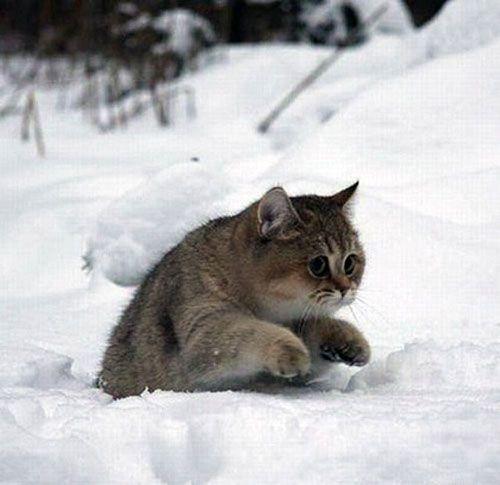 Russian Winter Kitty; precious!