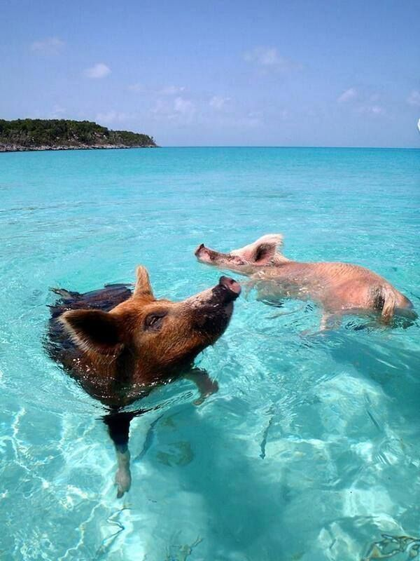 Pig Island is an uninhabited island located in Exuma, The Bahamas, known for being populated by many swimming pigs.  SWIMMY SNOOTS! =D