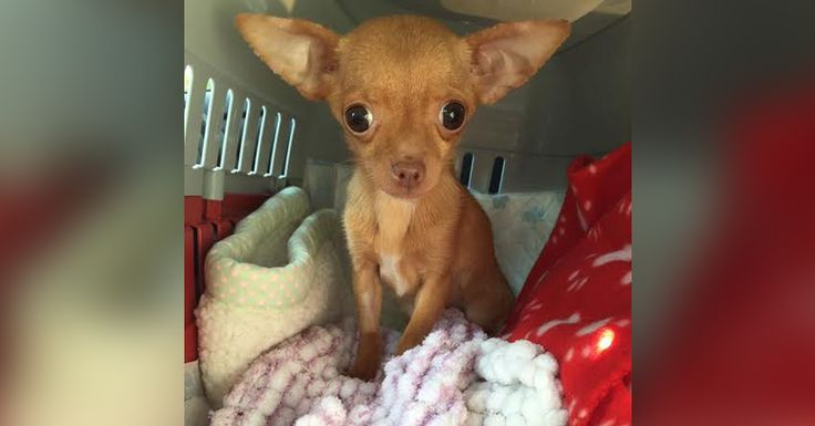 3/10/17 A teacup Chihuahua named Brie was rescued from a puppy mill in the United Kingdom.
