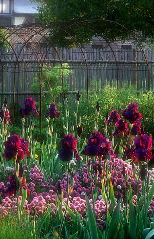 Edible & Ornamental Duo: Irises and Chives | Le Jardin Plume | herb garden | jardin d'herbes aromatiques