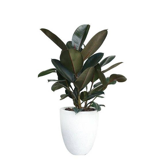 Rubber Tree Plant Ficus Elastica Burgundy FICUS BURGUNDY Indoor Houseplant Easy to Grow Small Medium or Large Plant Live House Plants Gift