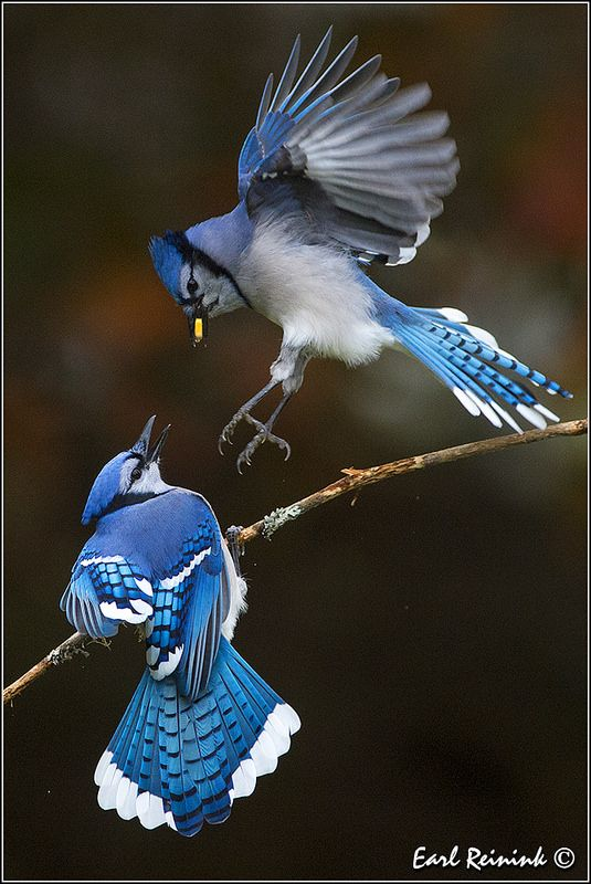 Fight night at the feeder... Blue jays | Flickr - Photo Sharing!