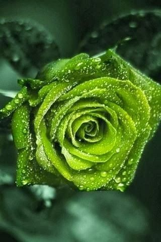 Green Rose ~ Rare and beautiful all at once...