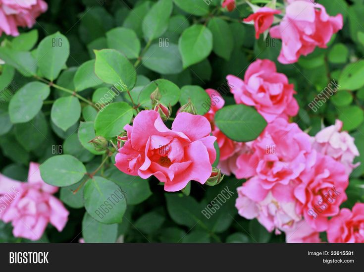 Pink Roses Bush Blooming In The Garden